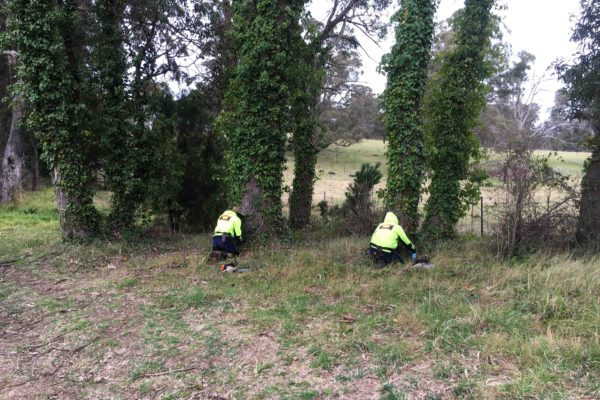herbicide-control-of-ivy-on-remnant-native-trees-mittagong-nsw bowantz