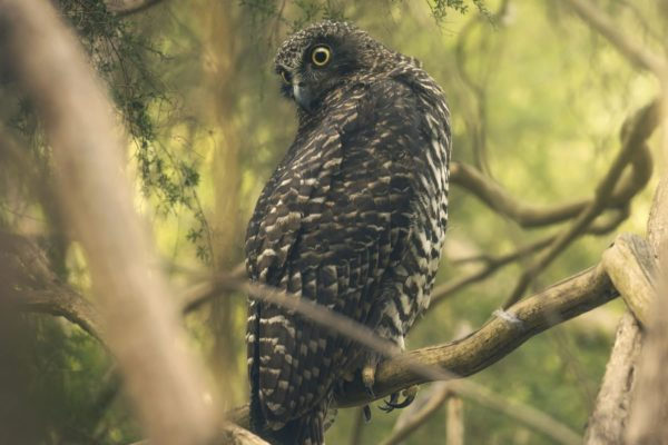 Powerful-Owl---Endangered-Ecological-Community-Restoration-Works-Wollongong---Bowantz-Consulting-Bushfire-and-Environmental