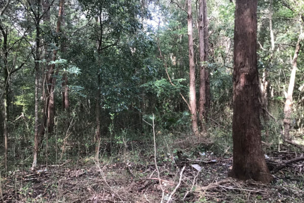 Site-of-Powerful-Owl-Oct2020-at-Endangered-Ecological-Community-Restoration-Works-Wollongong-2