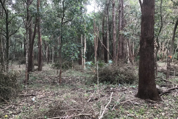 Site-of-Powerful-Owl-Oct2020-at-Endangered-Ecological-Community-Restoration-Works-Wollongong